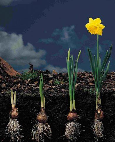 daffodilcare